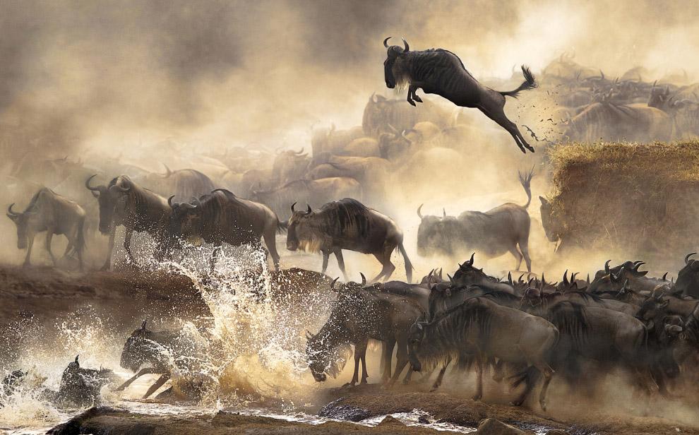 Переправа антилоп гну в Кении