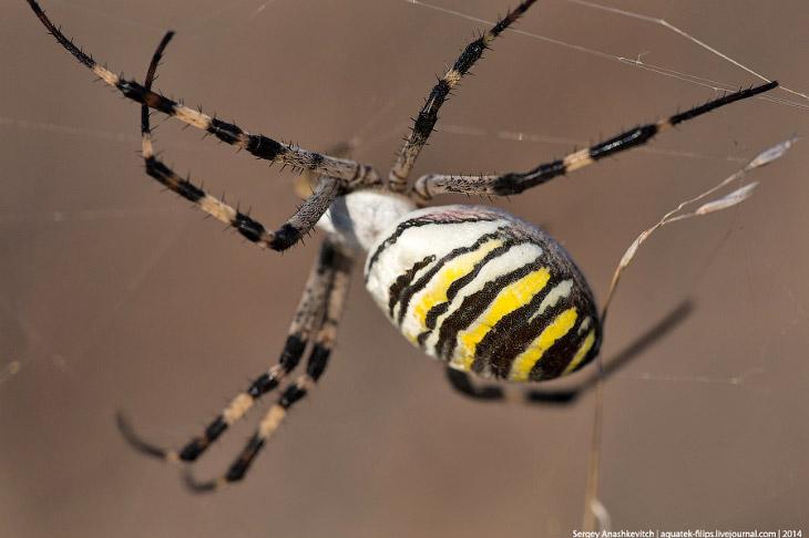 Самый эффектный паук Крыма