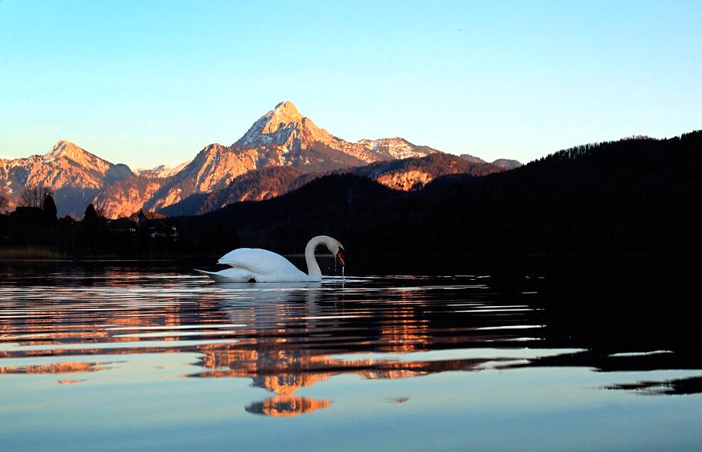 Лебедь плавает на озере Вайсензее с Альпами на заднем фоне