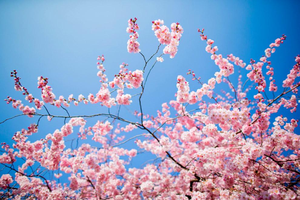 Цветущие вишни в городе Мюнстер, Германия