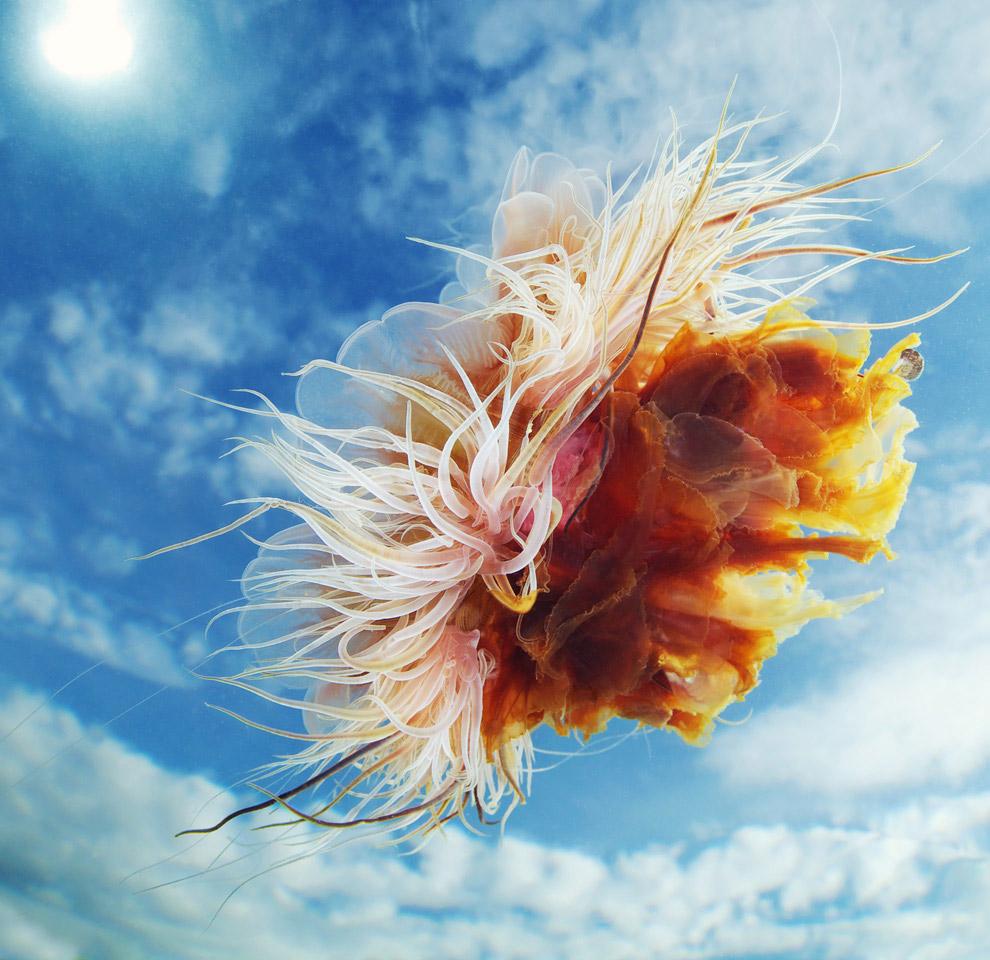 Медуза волосистая Цианея в Белом море