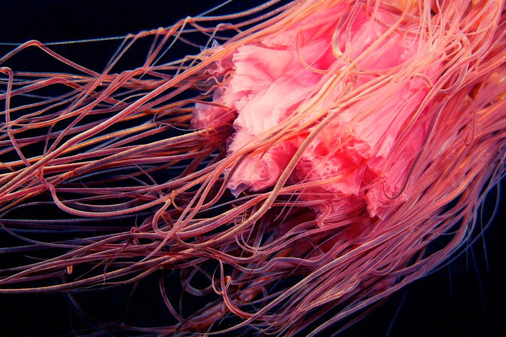 Щупальца медузы Львиная грива