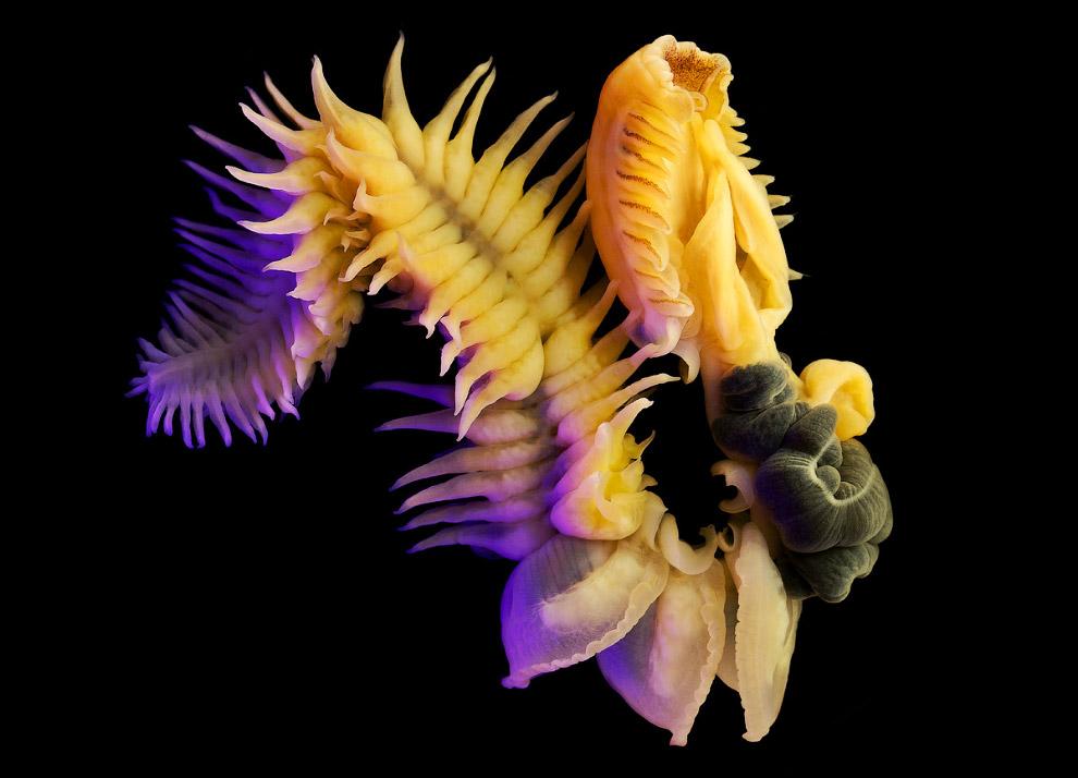Морской червь в Японском море