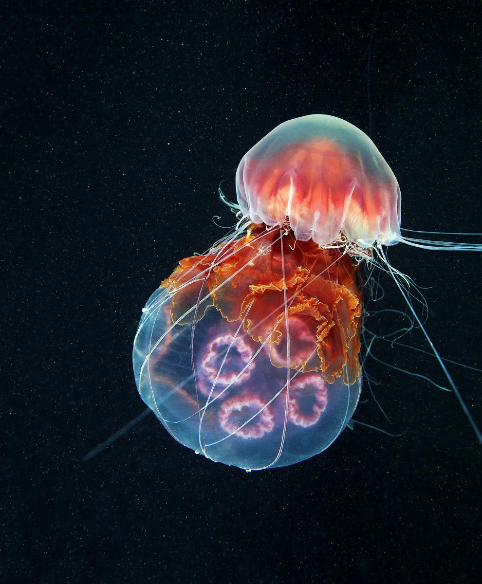 Медузы в Белом море