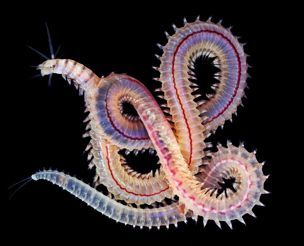 Морской червь у северо-восточного побережья штата Квинсленд, Австралия