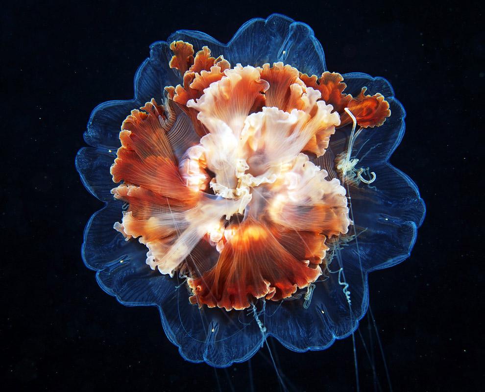 Медуза волосистая Цианея в Белом море, Россия