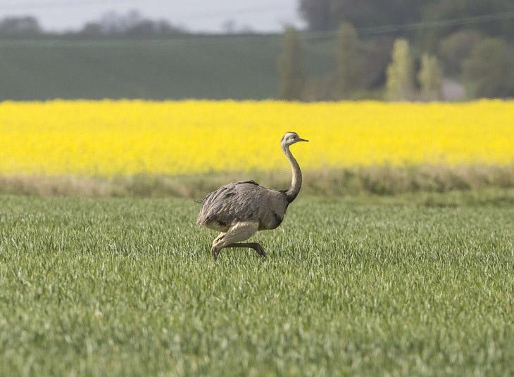 Нанду на поле для гольфа в графстве Хартфордшир, Англия