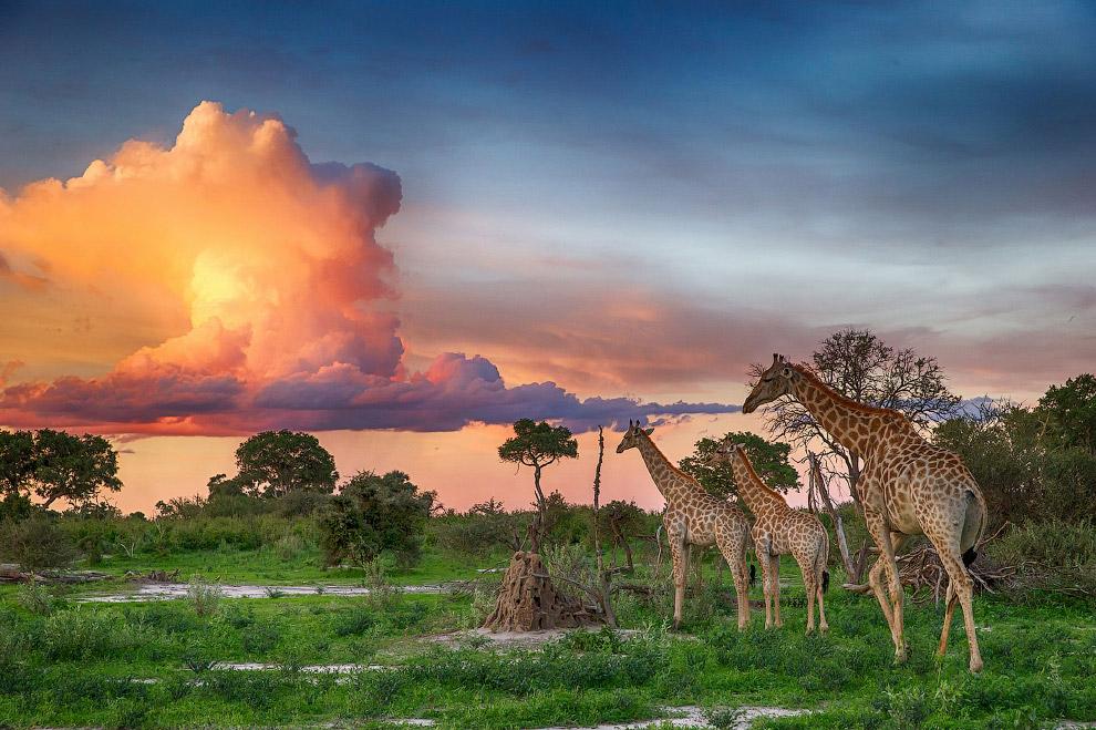 Закат в саванне после 6-дневного ливня и небольшое стадо жирафов в дельте реки Окаванго, Ботсвана