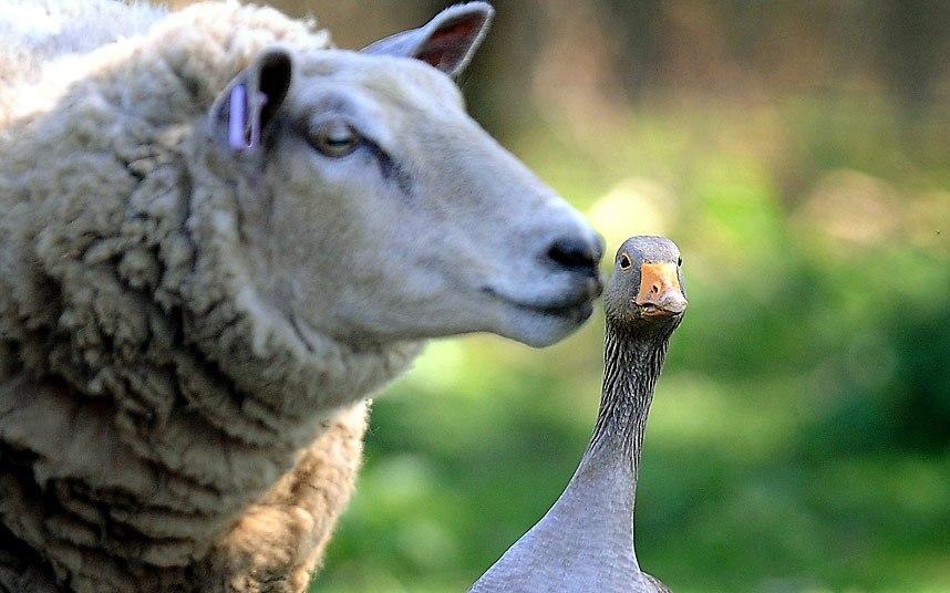 К удивлению фермера из английского графства Норфолк, этот гусь стал лучшим другом для его стада из 72 овец