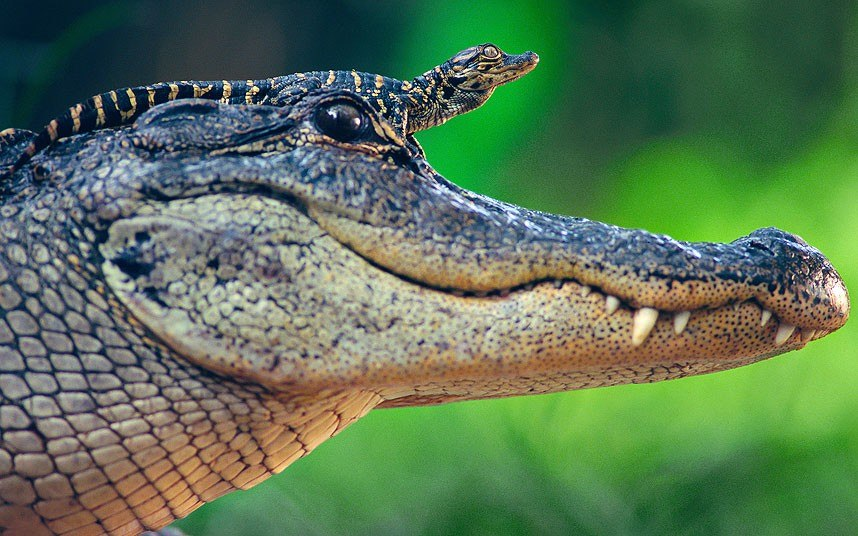 Идеальная позиция: детеныш аллигатора осматривает окрестности с головы мамы. И обзор хороший, и хищники не страшны