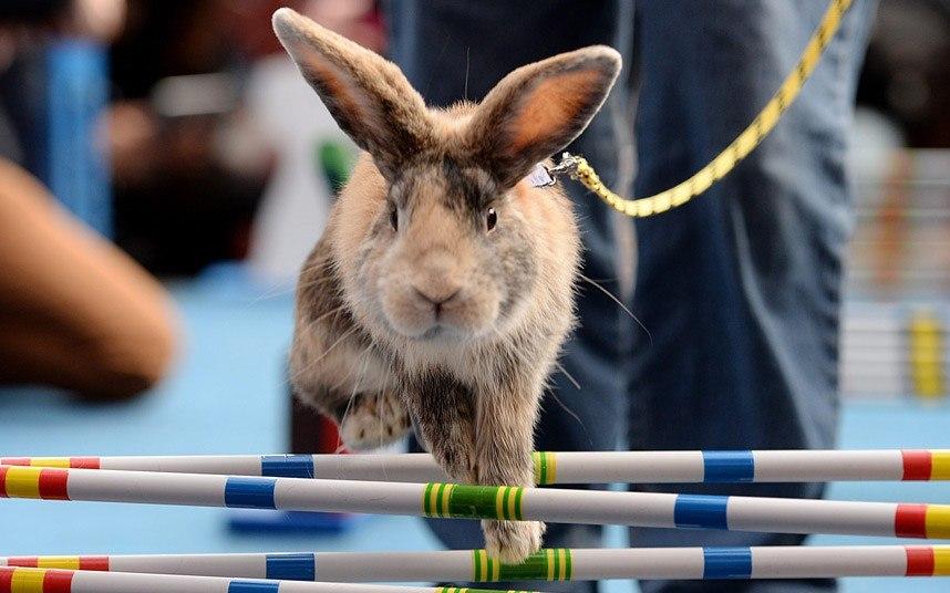 Целеустремленный кролик