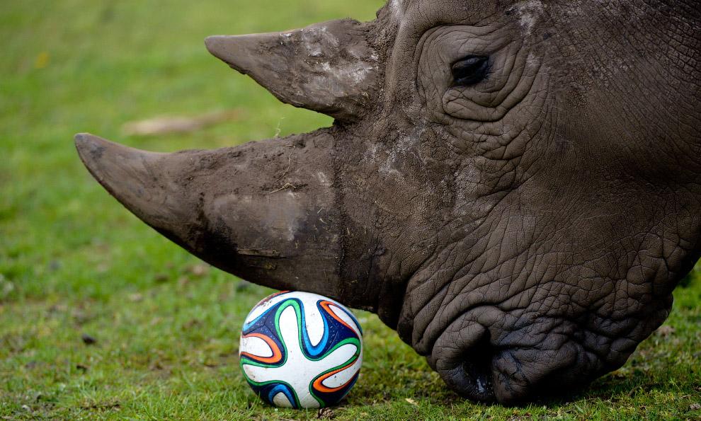 Носорог с мячом в парке в Германии