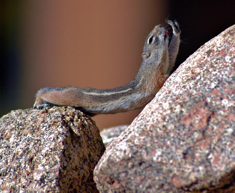 Редкий кадр: потягивающийся бурундук в горах в штате Нью-Мексико