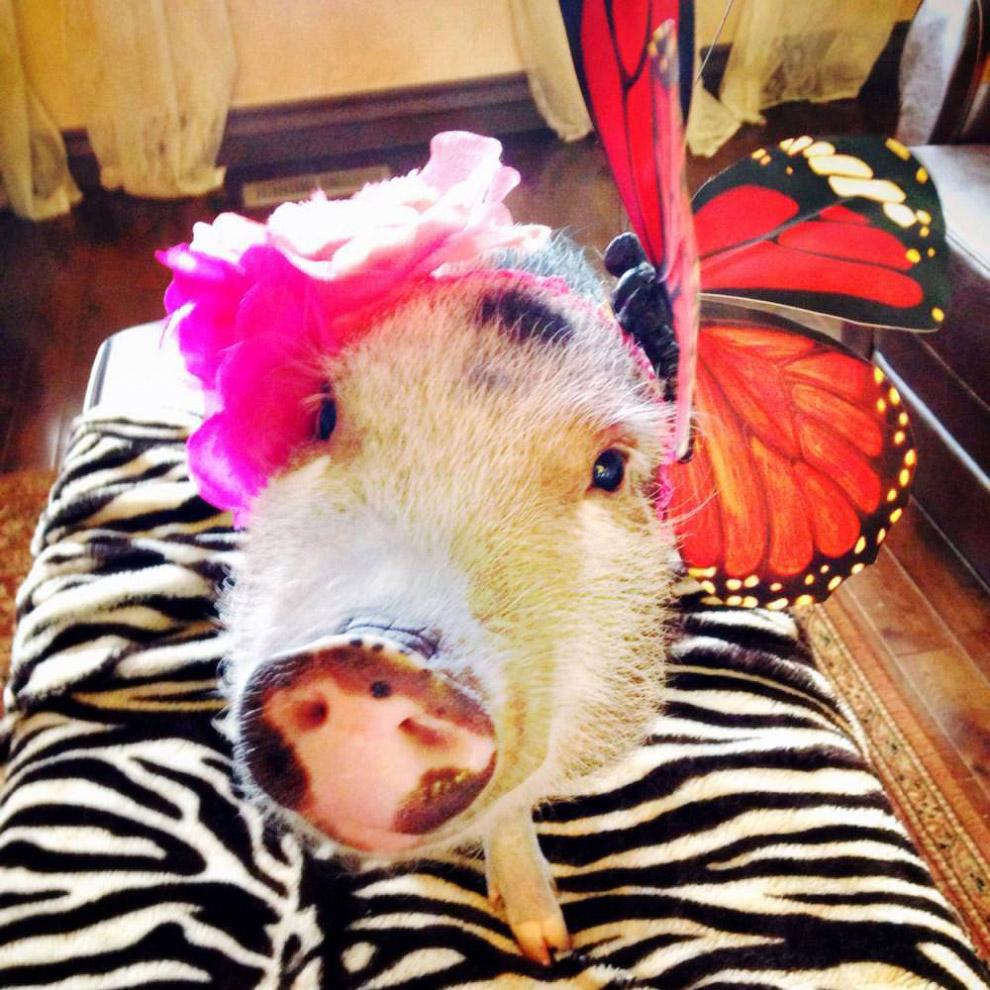 Звезда Инстаграм — имеющая свой эккаунт свинка с именем Пенелопа Попкорн. Имеет несколько десятков тысяч подписчиков