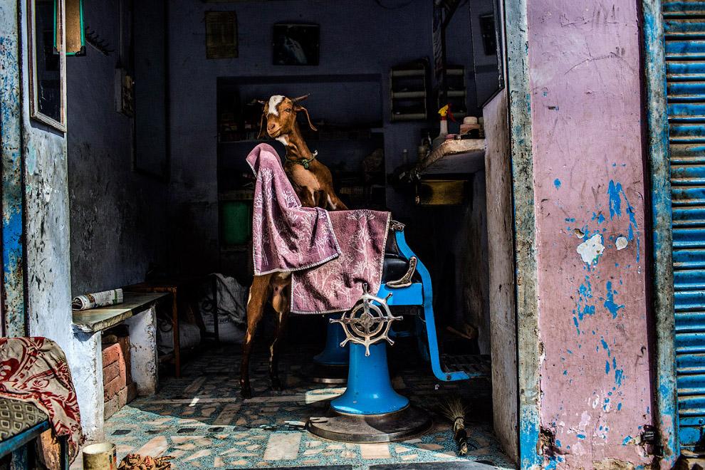 Козел в парикмахерской в Аджмере