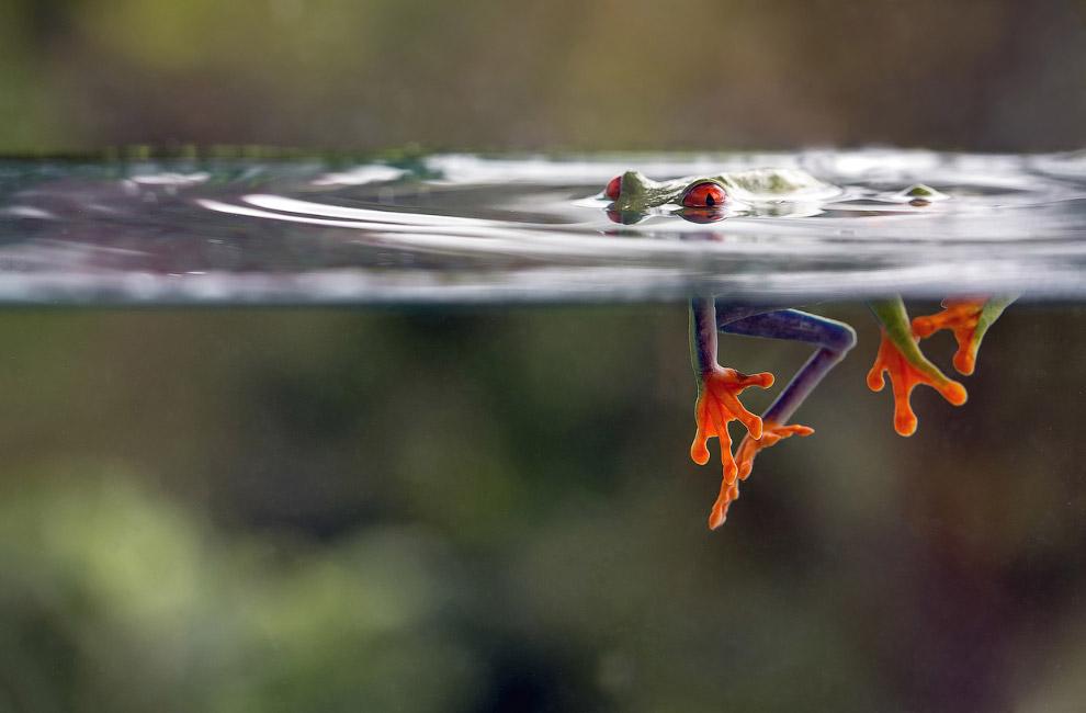 Красноглазая древесная лягушка из семейства квакш, Коста-Рика