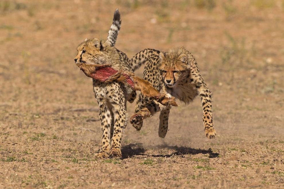 Два детеныша гепарда играют с остатками пойманной добычи