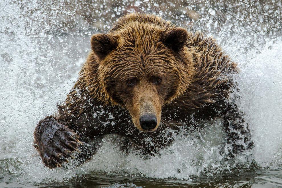 Медведь охотится за лососем