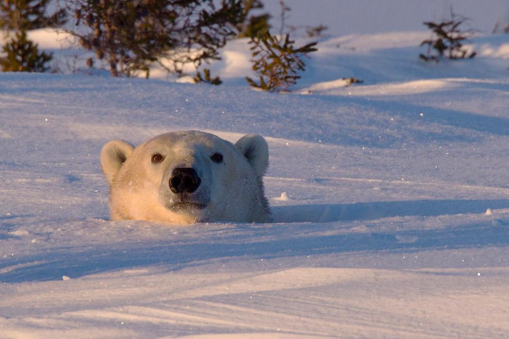 Белый медведь выглядывает из своей берлоги