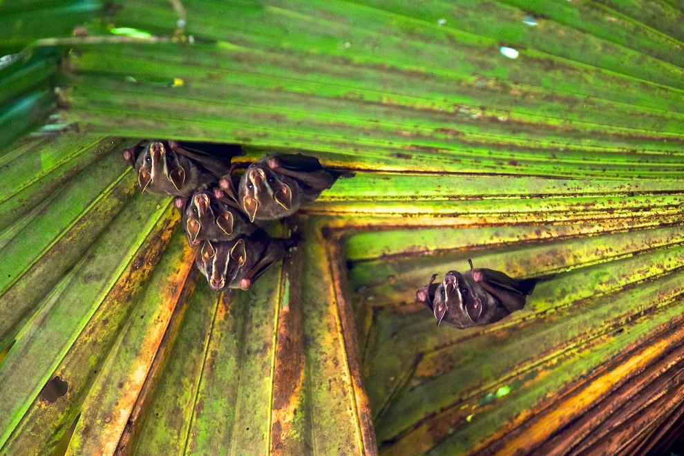 Крошечные летучие мыши на листьях в тропическом лесу на Коста-Рике