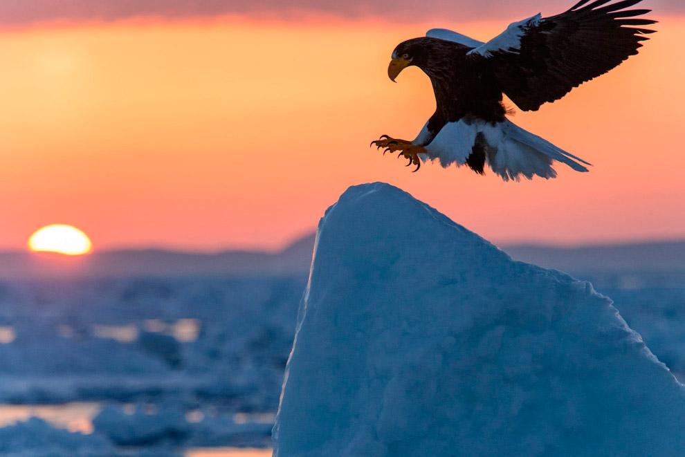 Орел приземляется на льдину