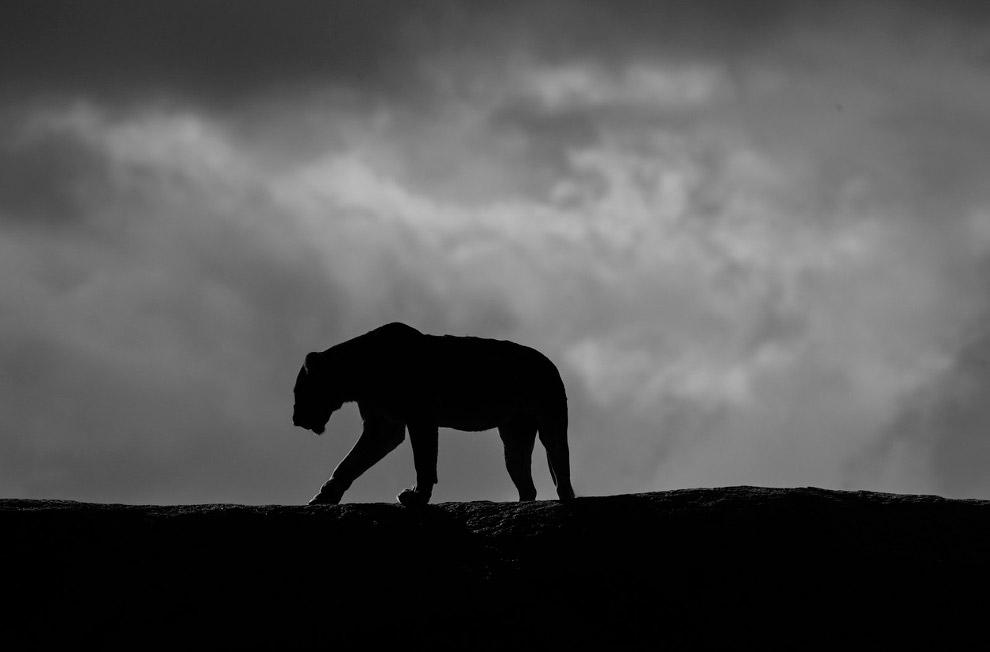 Силуэт львицы в Серенгети, Танзания