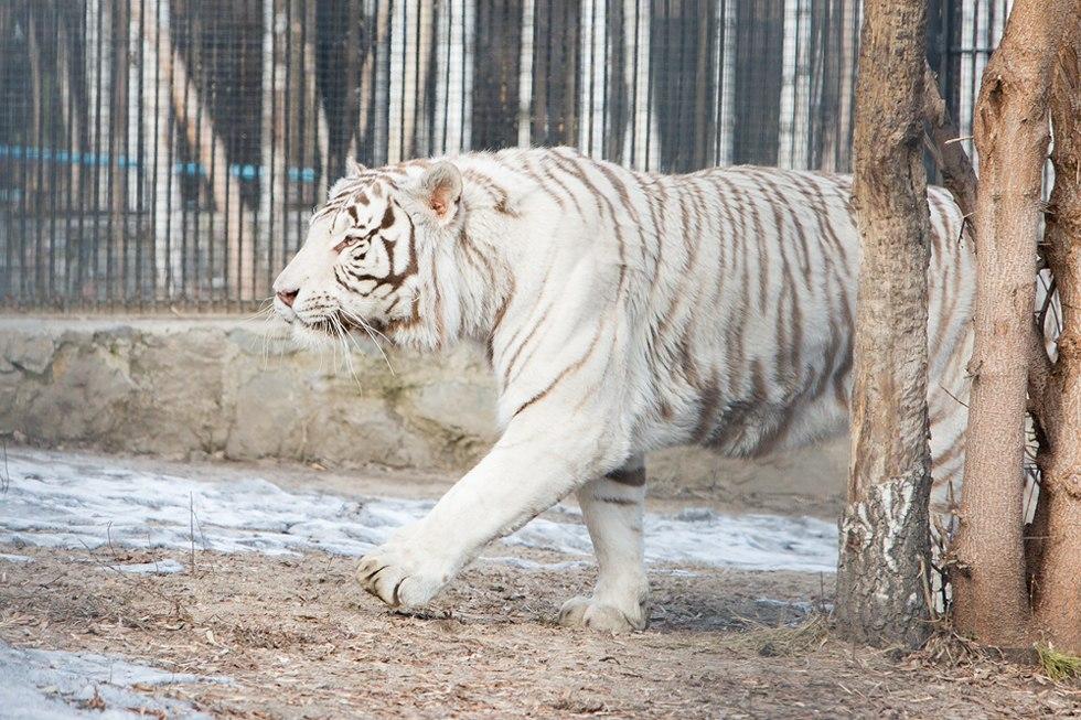 Белый тигр Зао