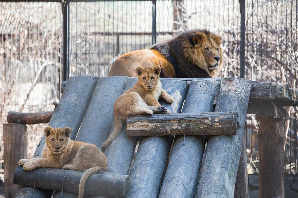 Африканские львята