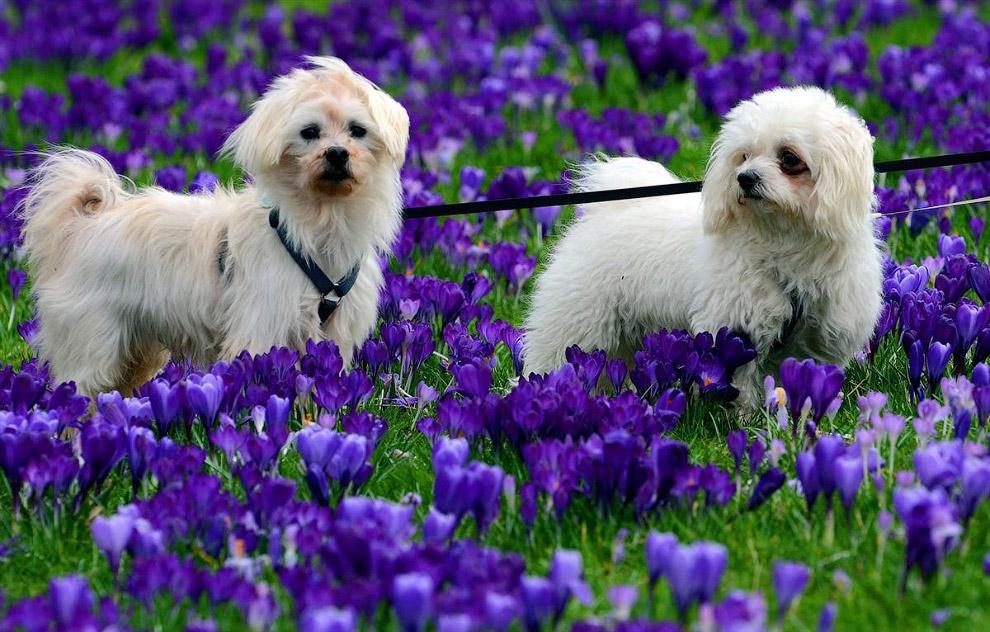 Пара собак в цветущем поле крокусов в Дюссельдорфе, Германия