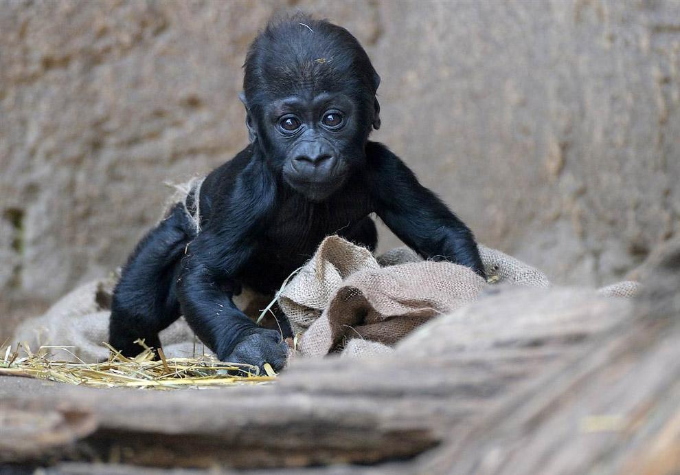 Утро у двухмесячной гориллы в лейпцигском зоопарке в Германии