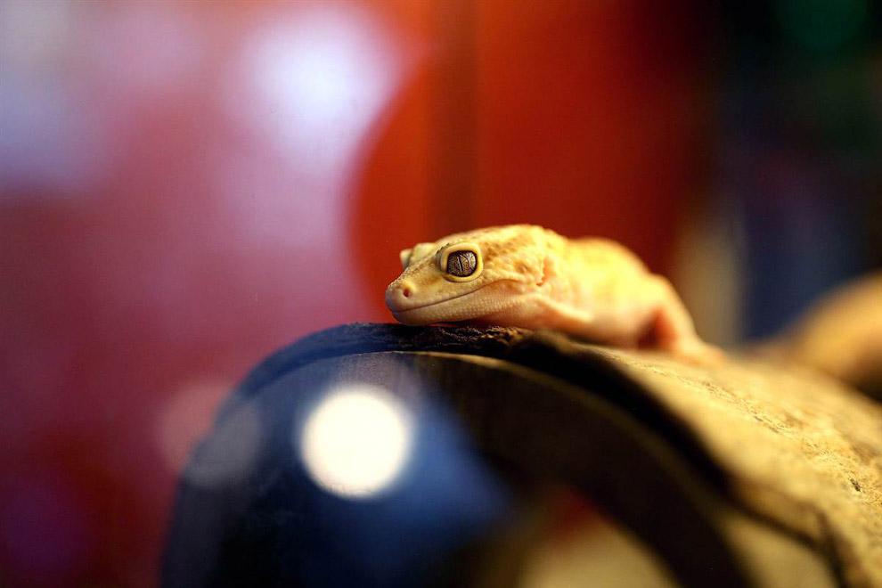 Грустный геккон