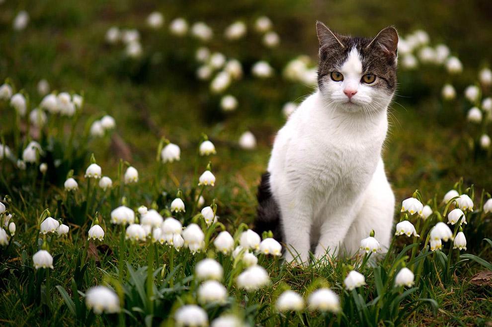 Кошка сидит среди нарциссов в Саксонии, Германия
