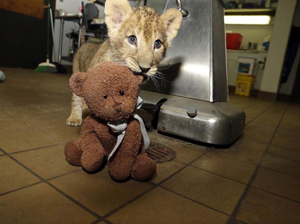 2-месячный львенок Кондо играет с плюшевым медведем в ветеринарной клинике в штате Нью-Джерси