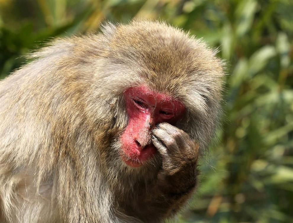 21-летний японский макак по имени Понедельник страдает аллергией на пыльцу