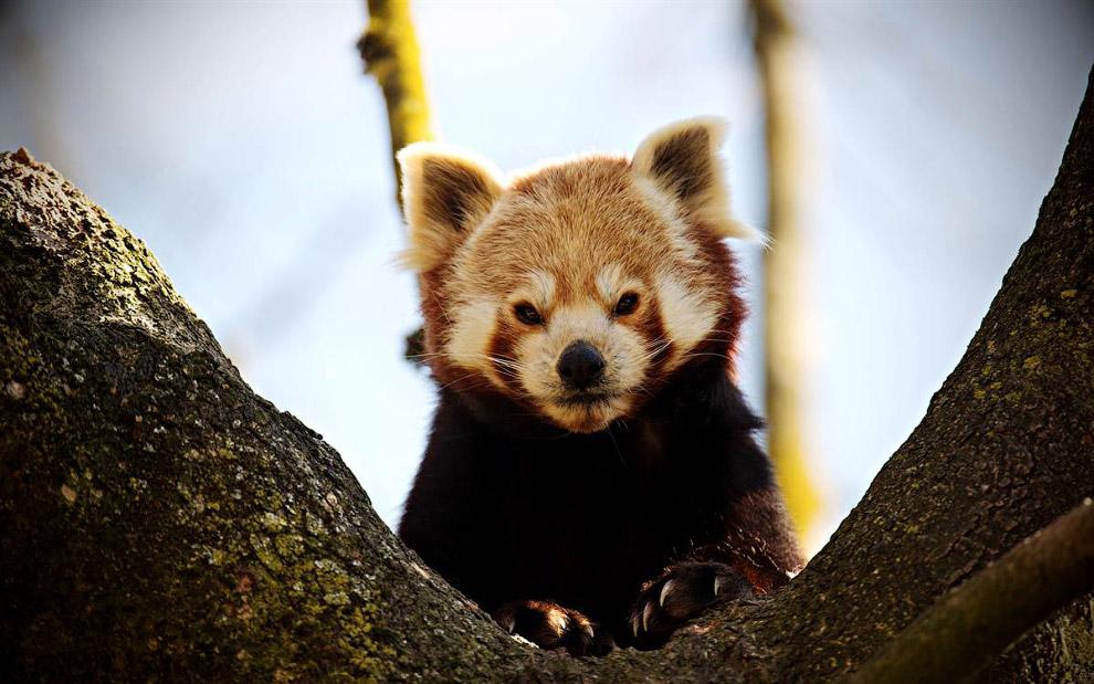 Малая панда по имени Ян в зоопарке в Мюнхене