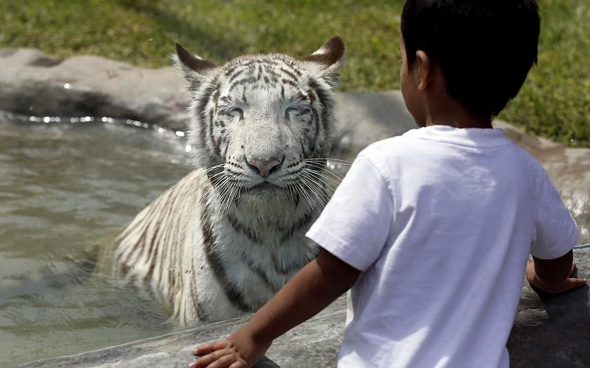 Мальчик и бенгальский тигр в зоопарке в Лиме, Перу