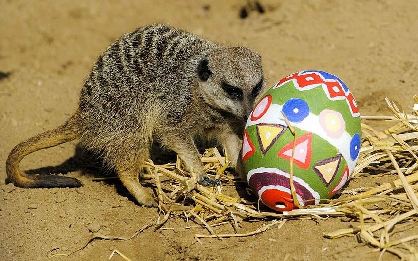 Сурикат играет с пасхальным яйцом