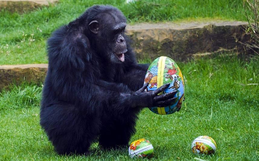 Шимпанзе, похоже, от пасхальных яиц в восторге