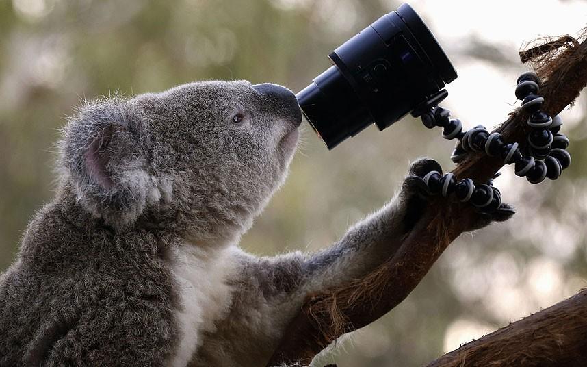 Коала готовится снять автопортрет