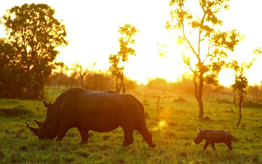 Утренняя прогулка белых носорогов, Уганда