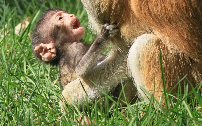 10-дневная обезьянка с мамой в зоопарке в Чехии