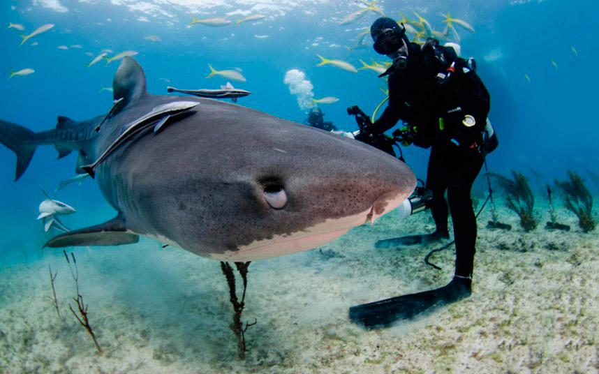 Прогулка с тигровой акулой в Карибском море