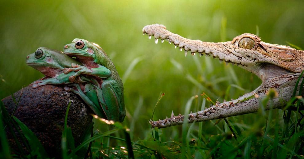 Не волнуйтесь, маленький крокодил просто пытается охладиться с открытой пастью, а не получить этих красивых лягушек на обед