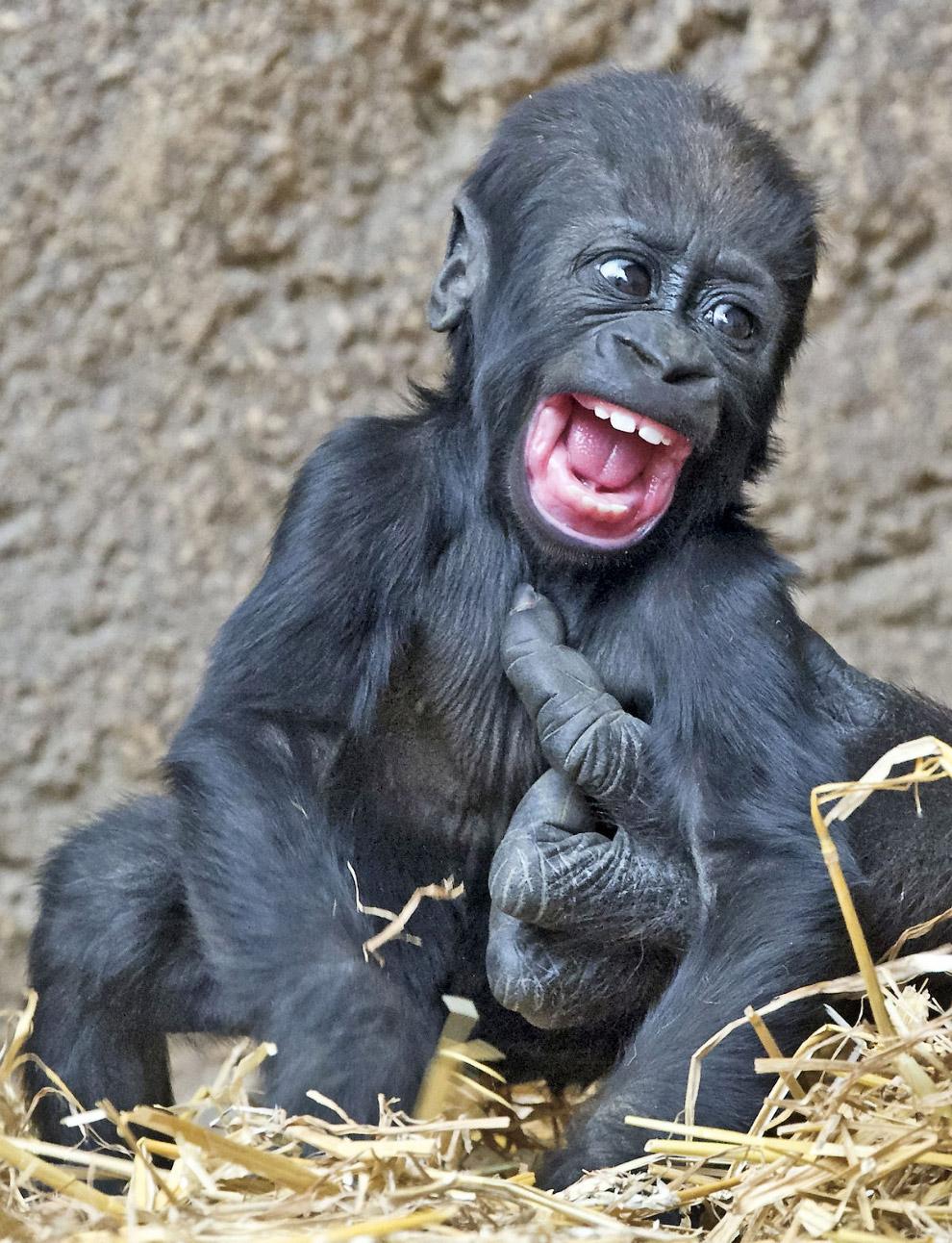 Маленькая горилла и мамина лапа.