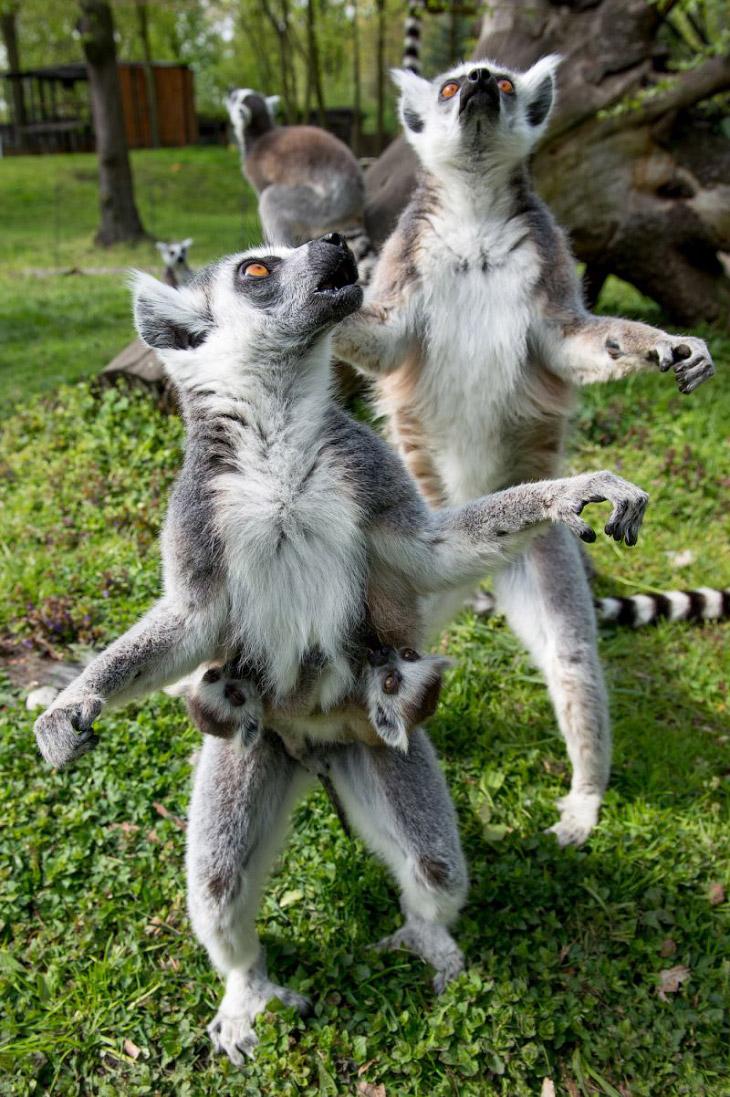 Молодые кошачьи лемуры в зоопарке Вроцлава, Польша