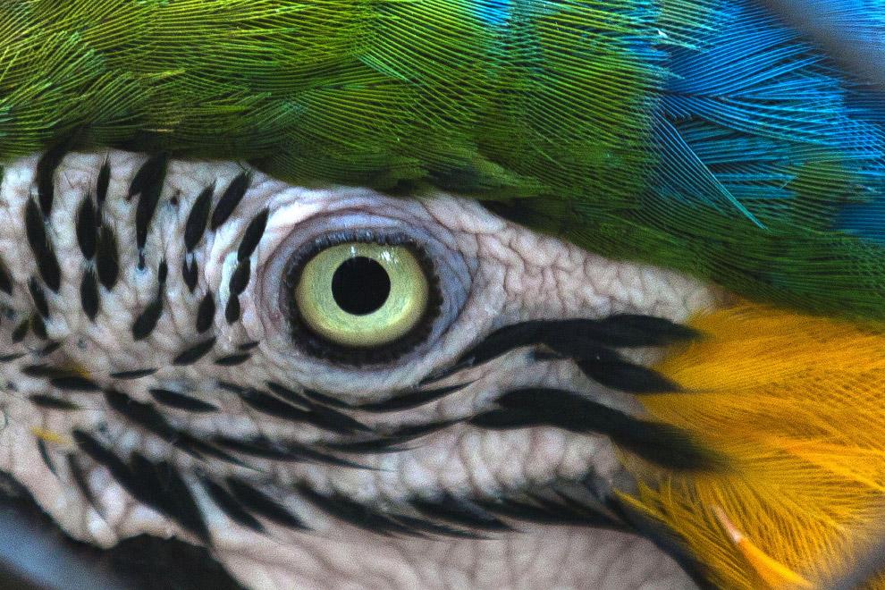 Глаз попугая Ара