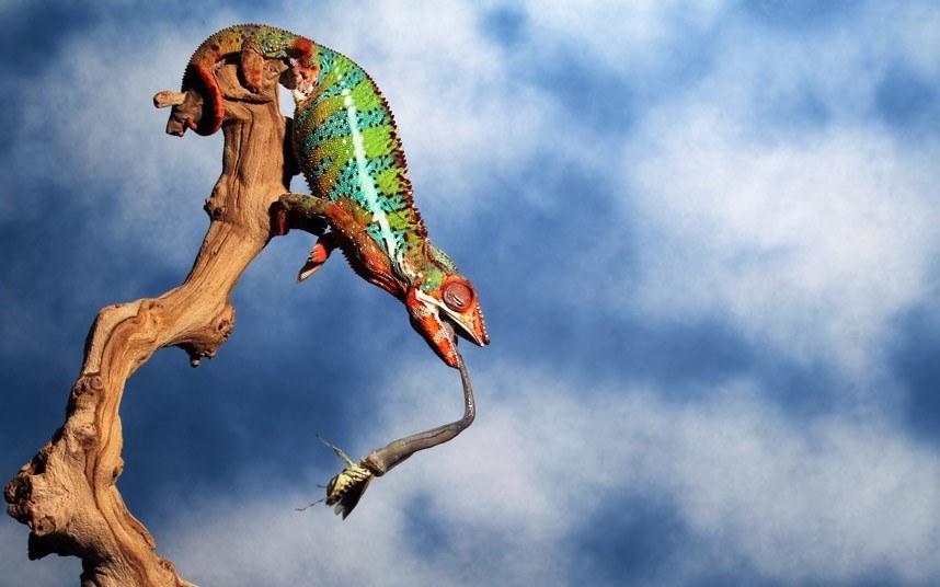 Красочный хамелеон поймал добычу