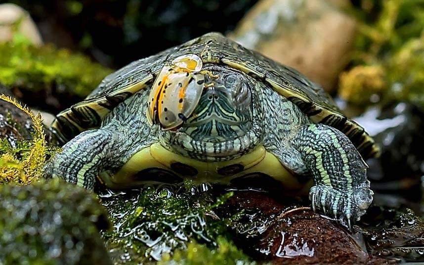 Жук залез на черепаху, сидящую в небольшом ручье