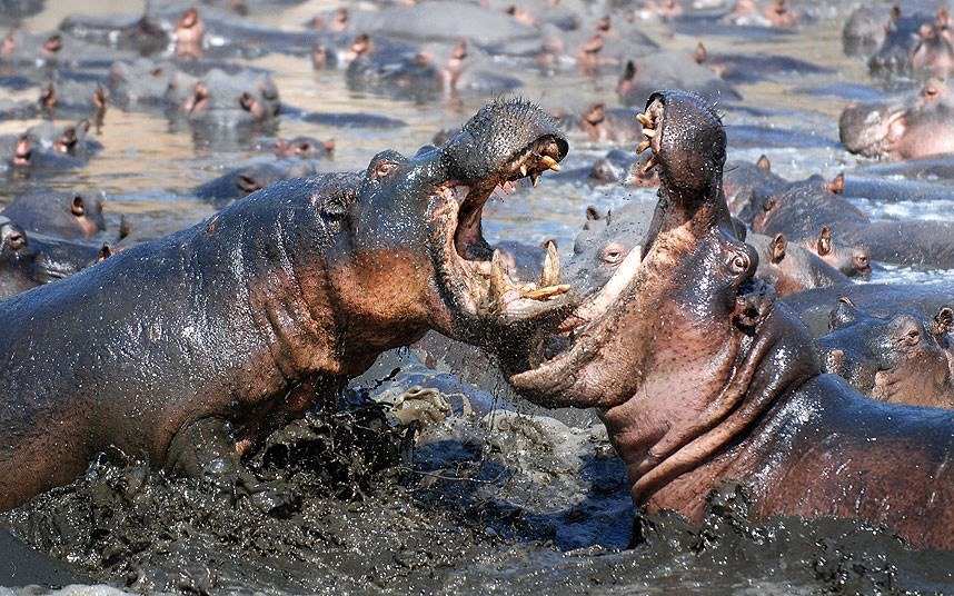 Бой 5-тонных бегемотов в Танзании