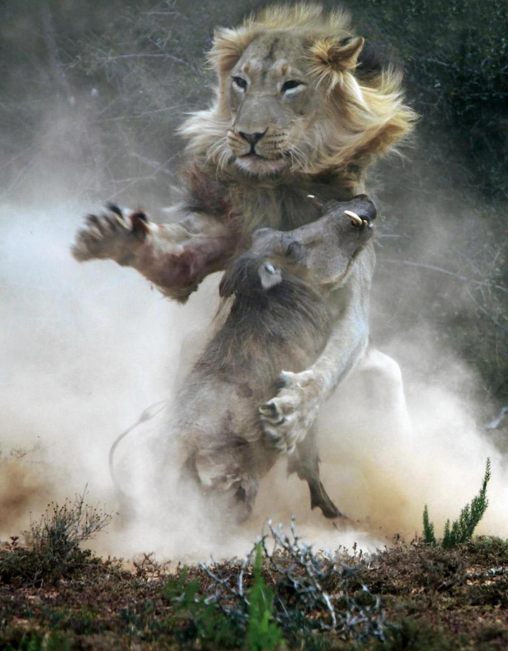Бородавочник попался на обед ко льву